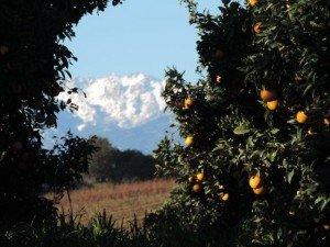 Alimea - 24 janvier pomelo massif Renosu